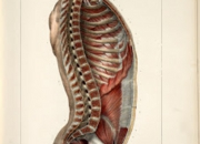 Muscles of the neck, thoracic, abdominal and pelvic cavities.jpg